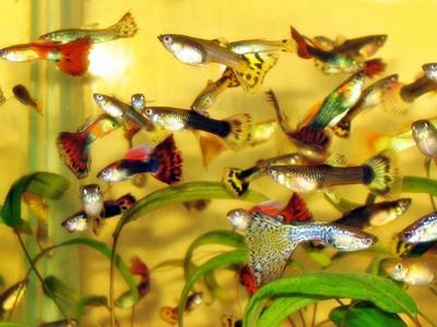 1. Ikan hias