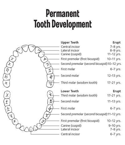 1. Urutan Pertumbuhan Gigi