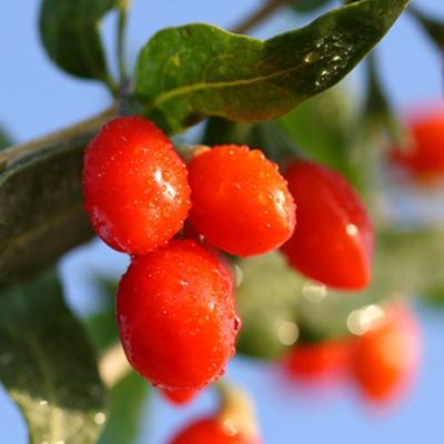 Goji Berry, Manfaat Besar dari Buah Kecil