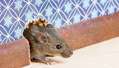 Tips Efektif untuk Membasmi Tikus Rumah Selain Menggunakan Perangkap, Lem, dan Racun Tikus, Wajib Tahu Moms!