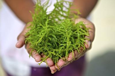 Ingin Tahu Manfaat Rumput Laut Bagi Kesehatan? Ini Jawabannya!