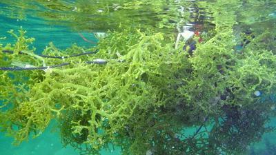 1. Rumput Laut