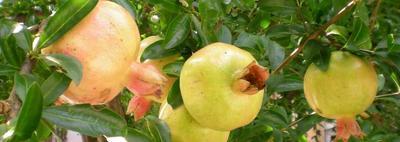 Buah Delima Kuning