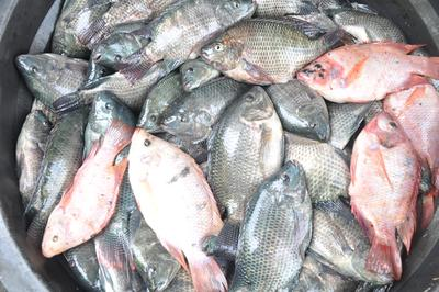 Supaya Nggak Salah Beli, Ini Loh Moms Bedanya Ikan Mujair dan Ikan Nila!