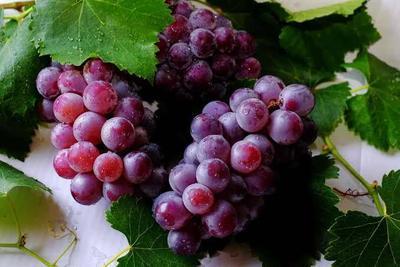 Bolehkah Ibu Hamil Makan Buah Anggur Merah? Apa Saja Bahaya dan Manfaatnya?