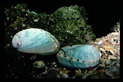 Habitat Kerang Pinctada maxima