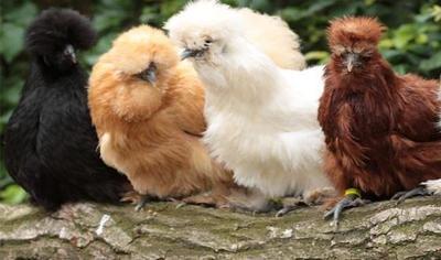 Ayam Kapas, Ayam Imut Berbulu Lembut yang Menggemaskan