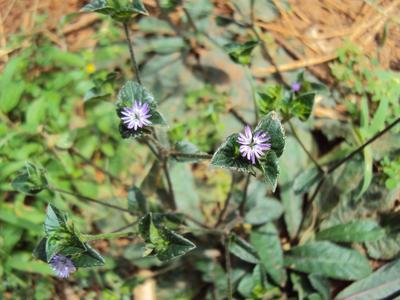 Kenalan dengan Sawi Hutan, Tanaman Herbal Liar yang Dipercaya Obati Kanker Payudara