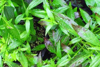 5 Tanaman Herbal Untuk Atasi Asam Urat, Tanam Sendiri di Rumah Yuk