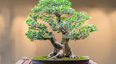 Kerdil dan Unik, Intip Yuk Cara Membuat Bonsai Pohon Asam Jawa