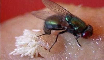 Telur Lalat pada Makanan