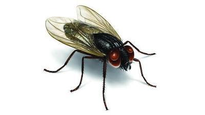 Siklus Hidup Lalat