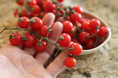 Budidaya Tomat Ceri Hidroponik, Intip Caranya untuk Pemula Deh, Moms!