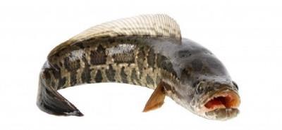 Ikan Gabus