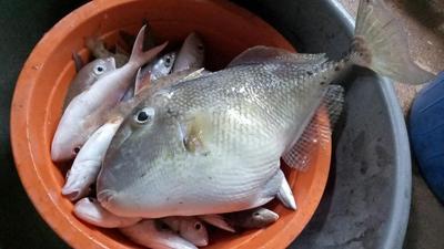 Kandungan Gizi dan Manfaat Ikan Etong