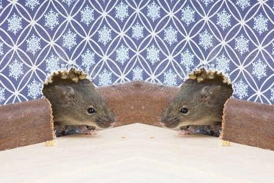 5 Cara Ampuh Mengusir Tikus dengan Bahan Alami, Coba Yuk Moms!