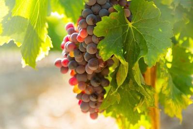 Beda Warna Beda Khasiatnya, Ini Ragam Manfaat Buah Anggur Hitam, Merah dan Hijau